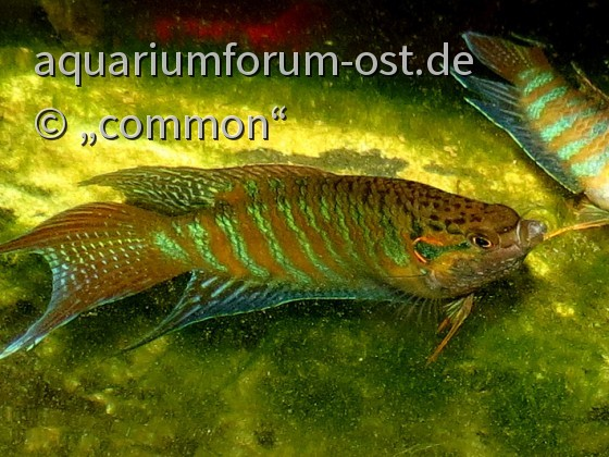 Labyrinther aquarium aquaristik forum aus dem osten for Store im gartenteich