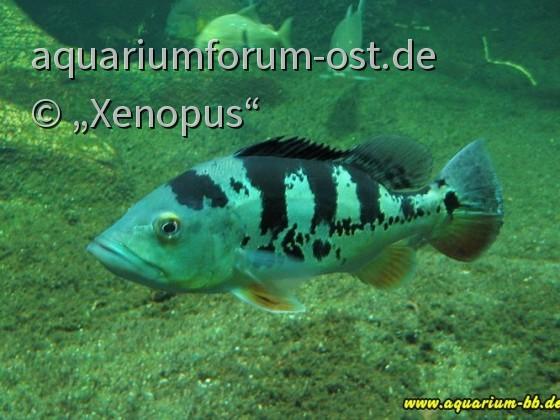 Cichla monoculus - Kammbarsch