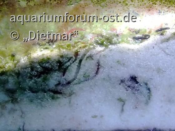 Tubifex costatus Aquariumhaltung