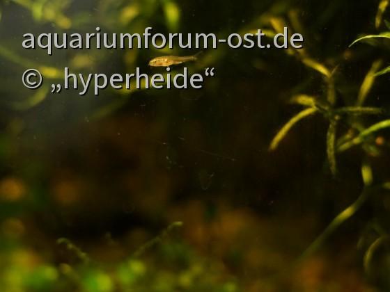Yunnanilus sp. rosy Nachwuchs, ca. 3 Wochen alt