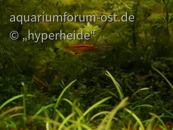 Zwergschmerlenpärchen (Yunnanilus sp. rosy)