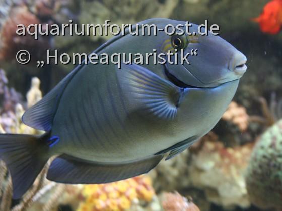 Acanthurus chirurgus - Streifen-Doktorfisch