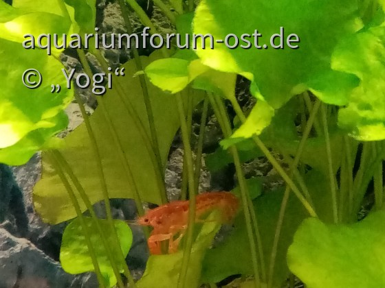 "Oranger Zwergflusskrebs - CPO - Cambarellus patzcuarensis ""orange"""