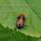 Käfer ohne Namen....