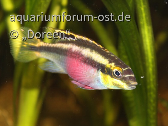 Pelvicachromis pulcher - female
