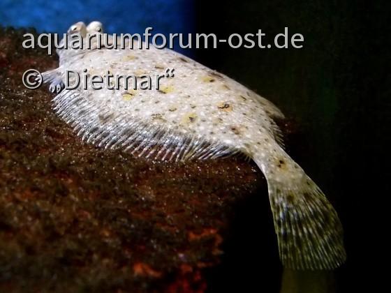 Pleuronectes platessa Jungtier, 4 cm lang