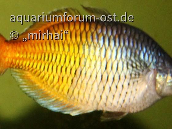 Melanotaenia boesemani - Boesemans Regenbogenfisch