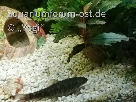 Kangal Knabberfisch - Garra rufa