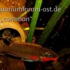 Pelvicachromis taeniata , Nigeria Red, Smaragdprachtbuntbarsch