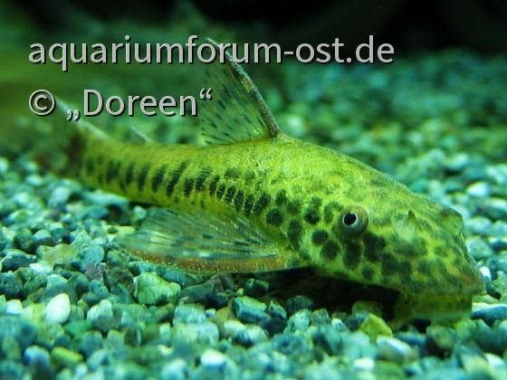 Parotocinclus maculicauda - Rotflossen-Saugwels