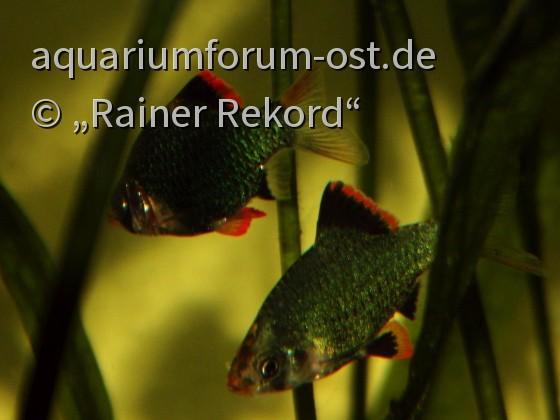 Moosgrüne Sumatrabarbe oder Viergürtelbarbe (Puntigrus cf. tetrazona) 7