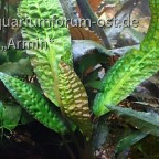 Cryptocoryne hudoroi AM 0