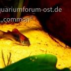 Corydoras venezolanus