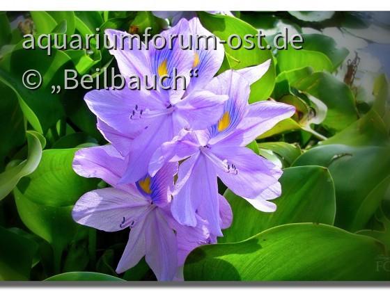 Blühende Wasserhyazinthe (Eichhornia crassipes) in Italien