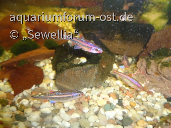 Regenbogenelritzen (Notropis chrosomus)