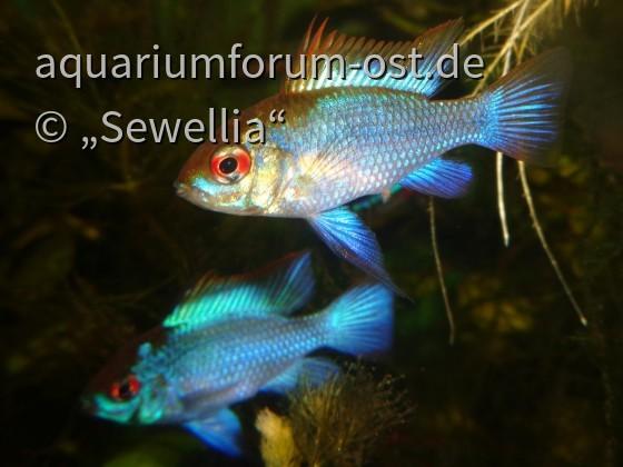 Südamerikanische Schmetterlingsbuntbarsche Electric Blue (Mikrogeophagus ramirezi) Pair
