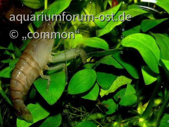 Atya gabonensis - Gabun-Fächergarnele
