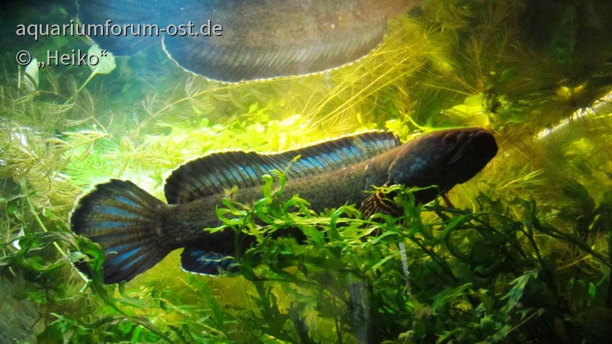 Channa spec. cobalt blue male