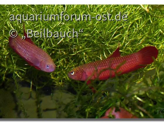Roter Zwergkampffisch Betta rutilans