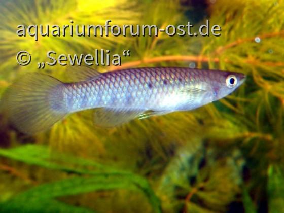 Grüner Hechtling (Aplocheilus dayi dayi) female