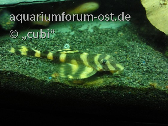 L168 Zonancistrus brachyurus