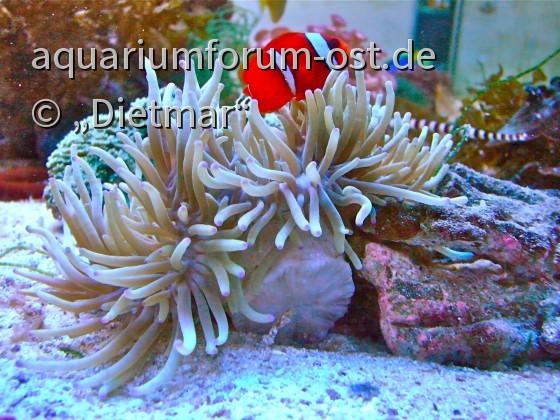 Weißbinden-Glühkohlen Anemonenfisch