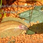 Dornauge und Flossensauger streiten um Spirulina