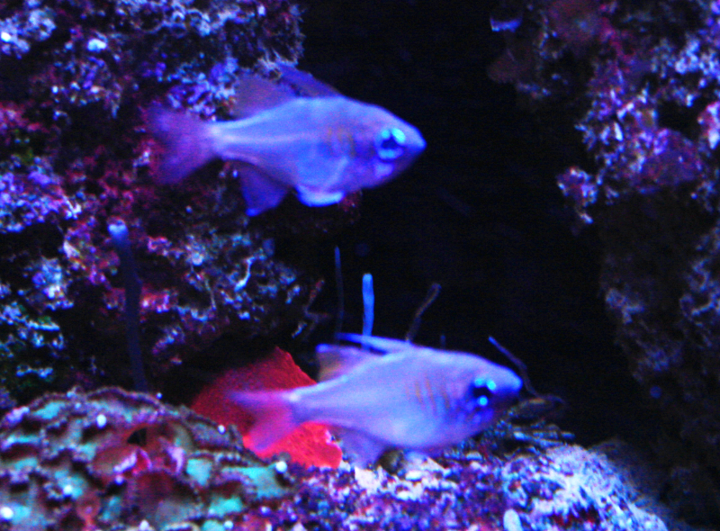 Kardinalbarsch Zoramia leptacantha