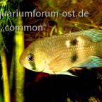 Cleithracara maroni, Maroni-Buntbarsch 1
