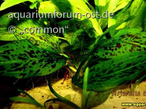 Echinodorus (schlüteri?) von Armin