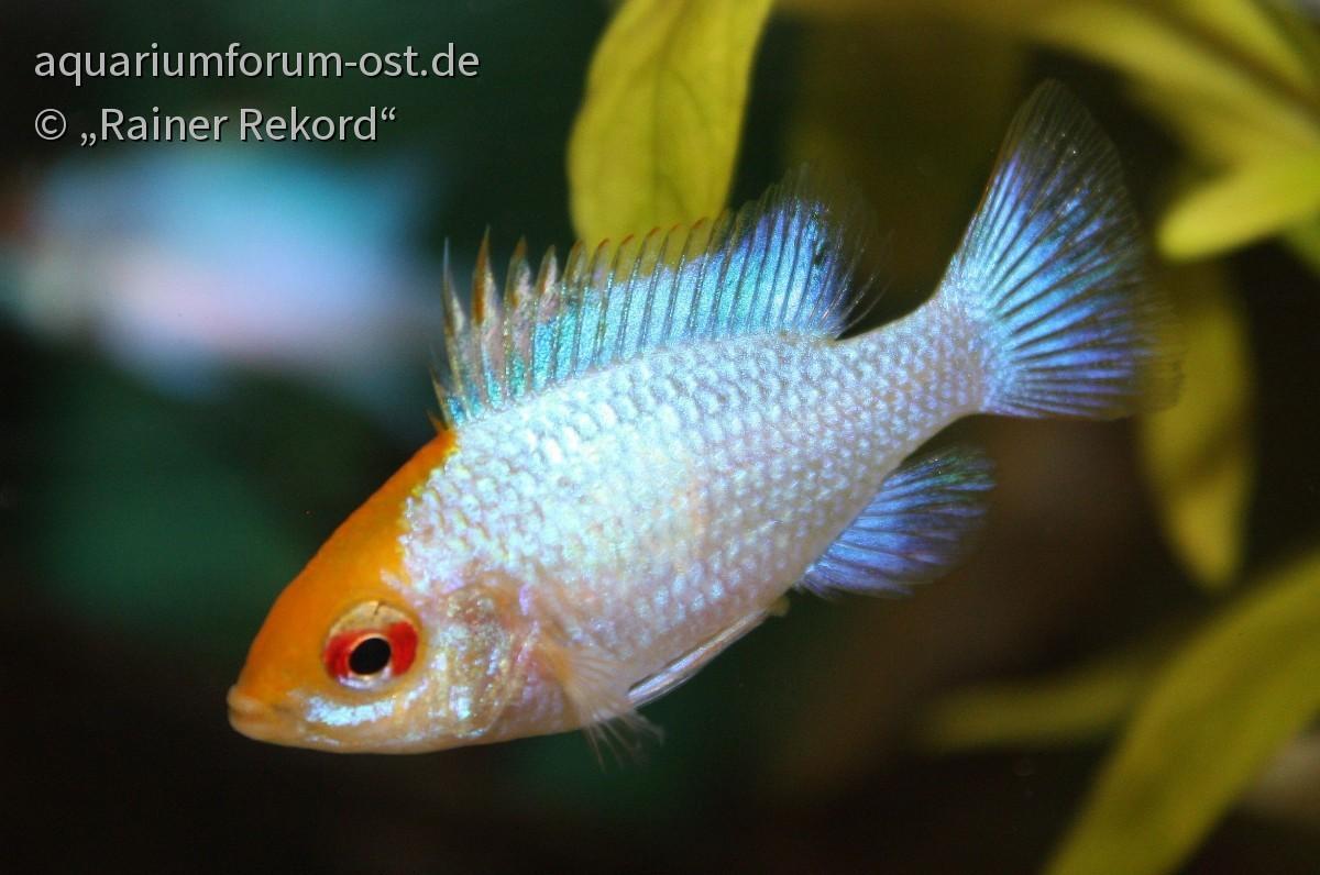 blauer Schmetterlingbuntbarsch - Mikrogeophagus ramirezi