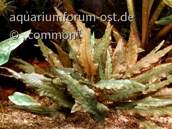 Cryptocoryne walkerii oder Nicks C. wendtii