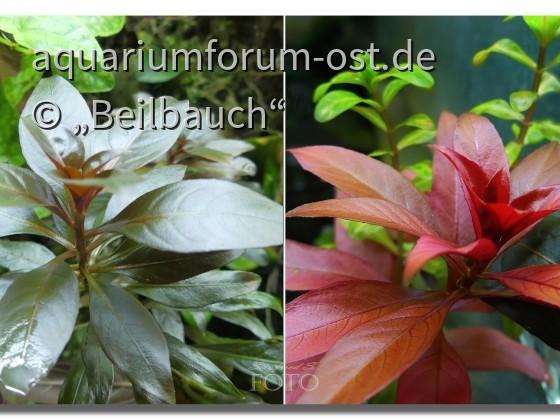 Rote Stern-Ludwigie, (Ludwigia glandulosa), emers