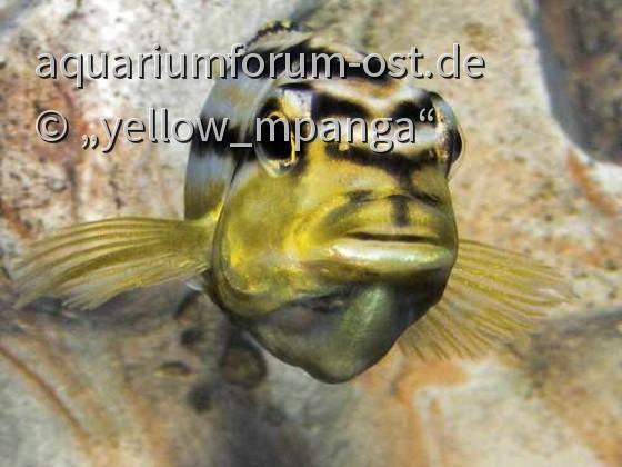 melanochromis auratus (w)