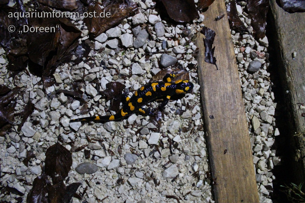 Feuersalamander - fotografiert bei Ramsau (Berchtesgardener Land)