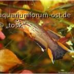 """Aphyosemion australe""""Cap Esterias EBT 96/27"""""""