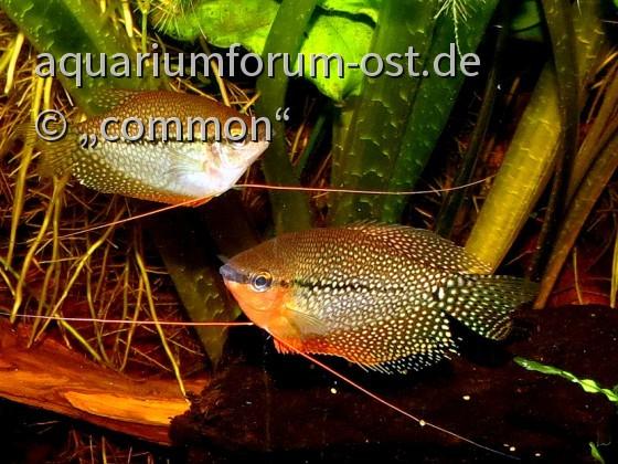 Trichogaster leeri, Pärchen, Mosaikfadenfische