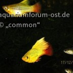 Papageienplaty, Xiphophorus variatus,  HiFin