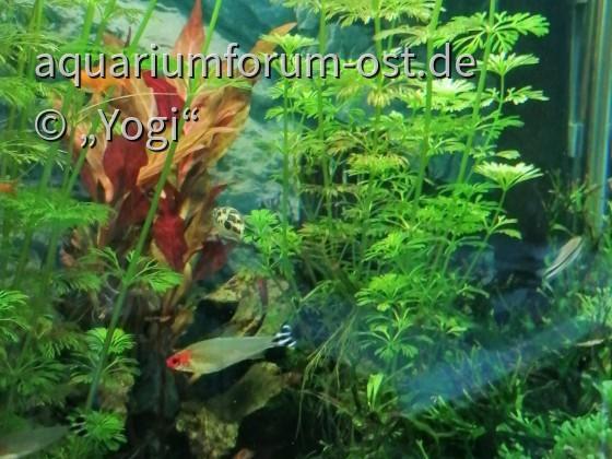 Rotkopfsalmler- Hemigrammus bleheri und Erbsenkugelfisch- Carinotetraodon travancoricus  Rückansicht