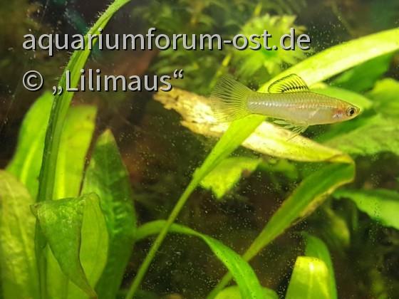 Alphamännchen Xyphophorus pygmaeus