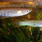 Grüne Hechtlinge (Aplocheilus dayi dayi) Pair