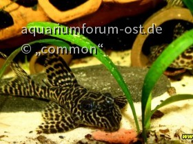 Königstigerharnischwels (Blauauge) Hypancistrus sp. L66