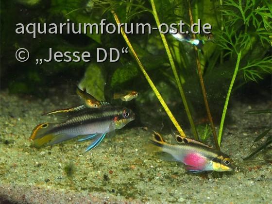 Pelvicachromis und Guppys auf Futtersuche