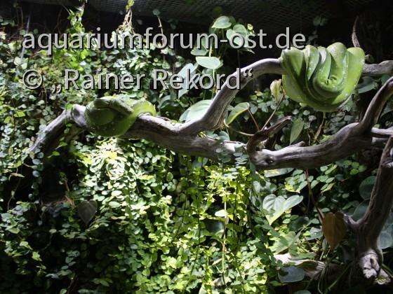 2 grüne Schlangen,  wahrscheinlich, Grüner Baumpython