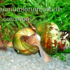 Sumpfdeckelschnecken und eine Putzer-Kahnschnecke aufsitzend