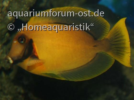 Acanthurus pyroferus -  Schokoladen- oder Mimikrydoktorfisch