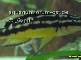 """Julidochromis ornatus """"Masanza"""" Weibchen"""