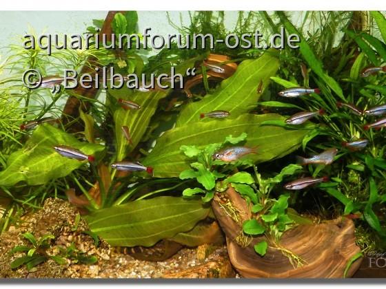 Vietnamesische Kardinalfische (Tanichthys micagemmae) und Neon-Reisfische (Oryzias woworae)