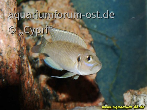 Neolamprologus Brevis Männchen