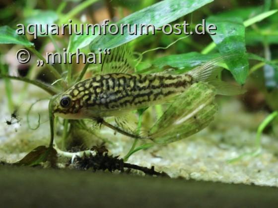 Huhu ich versteck mich... kleiner Schnappschuss Corydoras napoensis